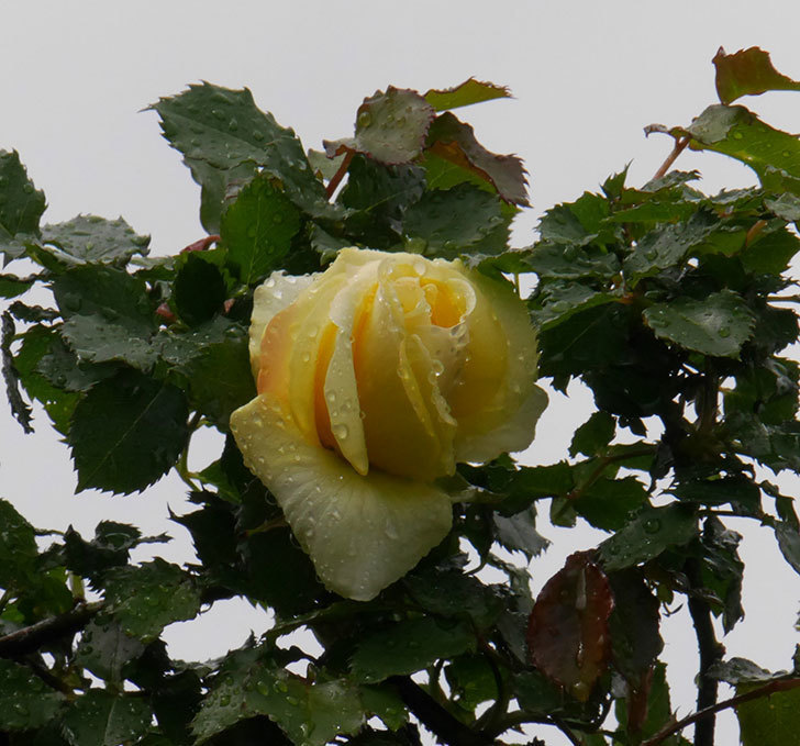 つるゴールドバニー(ツルバラ)の花が開いて来た。2020年-1.jpg