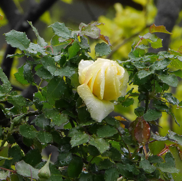 つるゴールドバニー(ツルバラ)の花が開いて来た。2020年-2.jpg