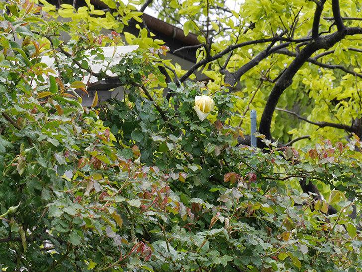 つるゴールドバニー(ツルバラ)の花が開いて来た。2020年-3.jpg