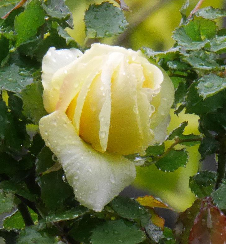 つるゴールドバニー(ツルバラ)の花が開いて来た。2020年-4.jpg