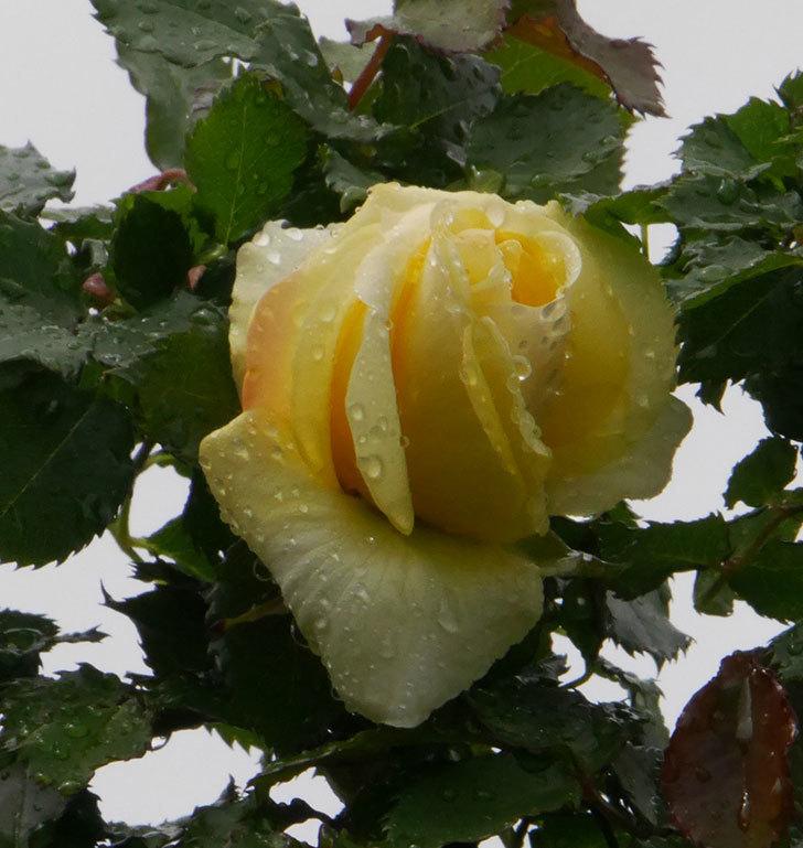 つるゴールドバニー(ツルバラ)の花が開いて来た。2020年-5.jpg