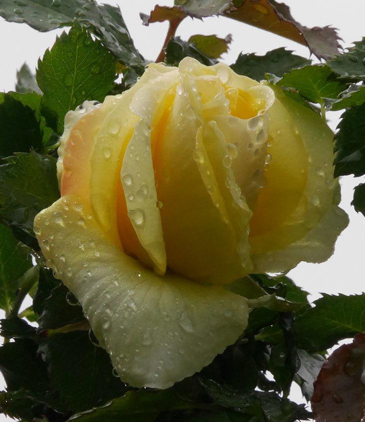 つるゴールドバニー(ツルバラ)の花が開いて来た。2020年-6.jpg