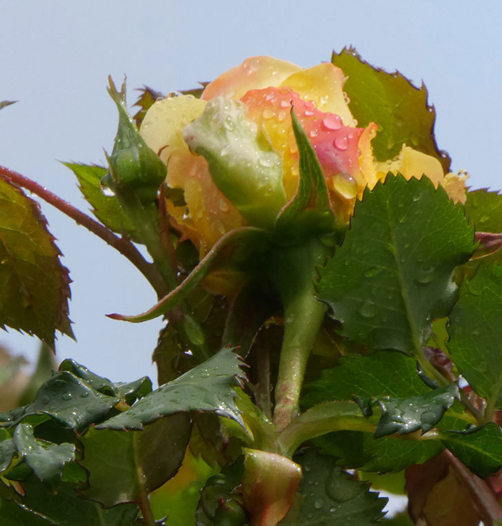 つるゴールドバニー(ツルバラ)の花が開いて来た。2020年-8.jpg