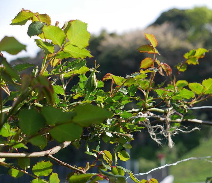 つるゴールドバニー(ツルバラ)の蕾が上がってきた。2018年-4.jpg