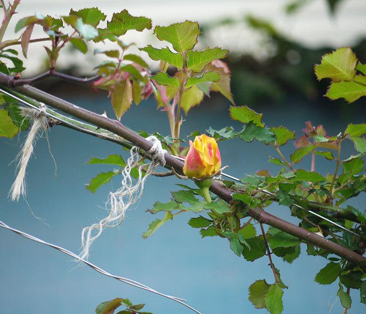 つるゴールドバニー(ツルバラ)の蕾が色づいてきた。2018年-4.jpg
