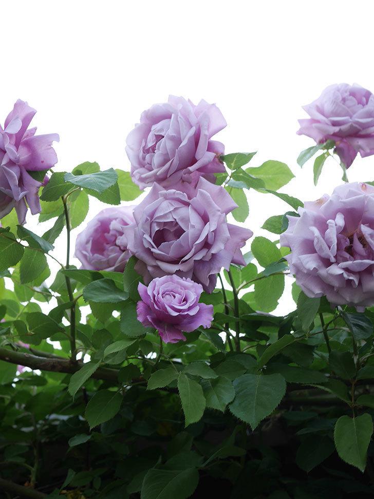 つるシャルルドゴール(Charles de Gaulle Climbing)の花がたくさん咲いた。ツルバラ。2021年-092.jpg