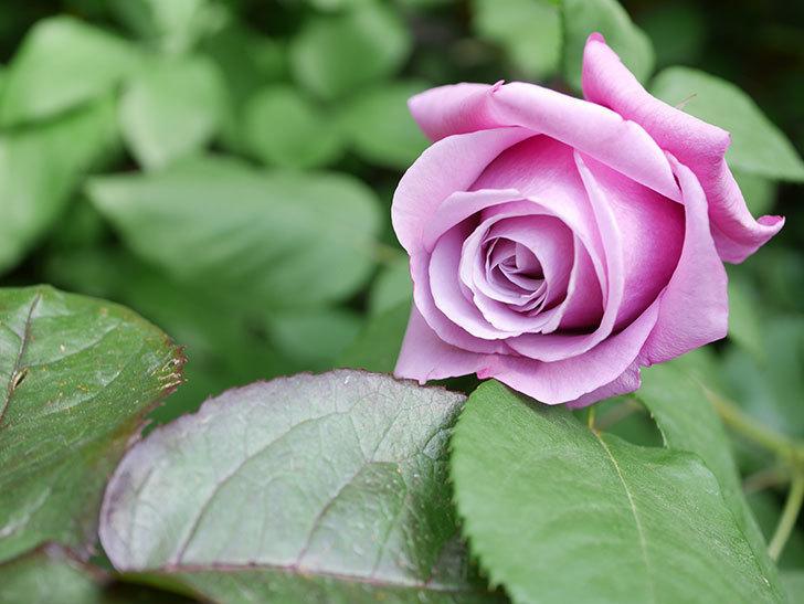 つるシャルルドゴール(Charles de Gaulle Climbing)の花が咲いた。ツルバラ。2021年-009.jpg
