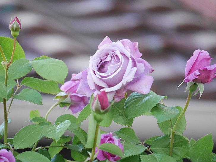 つるシャルルドゴール(Charles de Gaulle Climbing)の花が増えてきた。ツルバラ。2021年-019.jpg