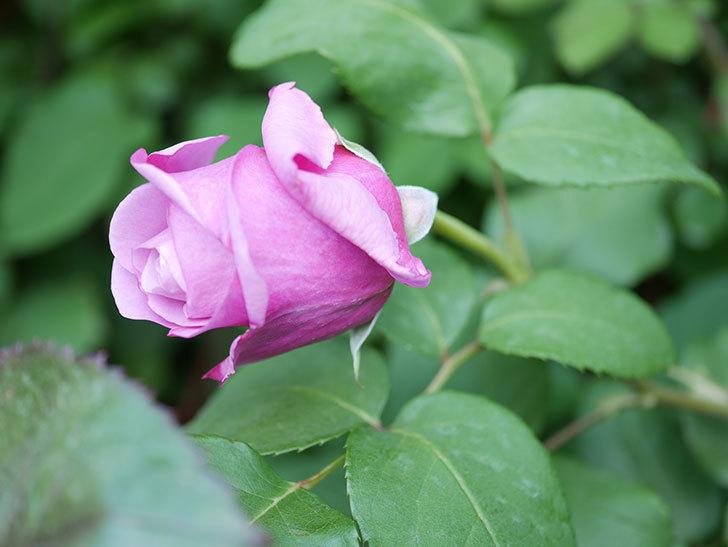 つるシャルルドゴール(Charles de Gaulle Climbing)の花が少し咲いた。ツルバラ。2021年-007.jpg