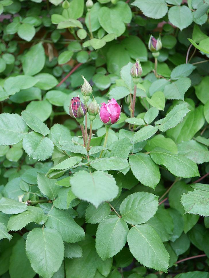 つるシャルルドゴール(Charles de Gaulle Climbing)の花が少し咲いた。ツルバラ。2021年-008.jpg