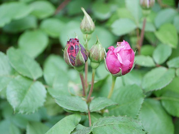 つるシャルルドゴール(Charles de Gaulle Climbing)の花が少し咲いた。ツルバラ。2021年-009.jpg