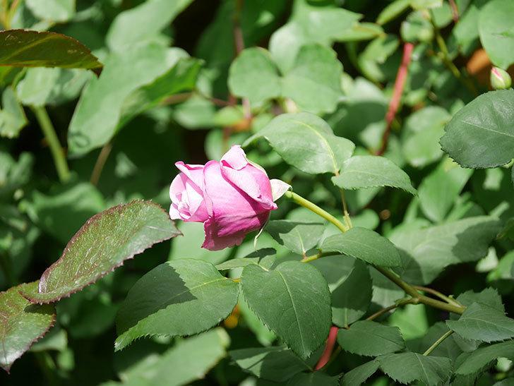 つるシャルルドゴール(Charles de Gaulle Climbing)の花が少し咲いた。ツルバラ。2021年-011.jpg