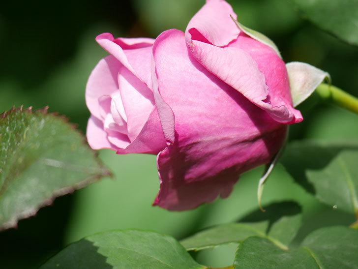 つるシャルルドゴール(Charles de Gaulle Climbing)の花が少し咲いた。ツルバラ。2021年-014.jpg