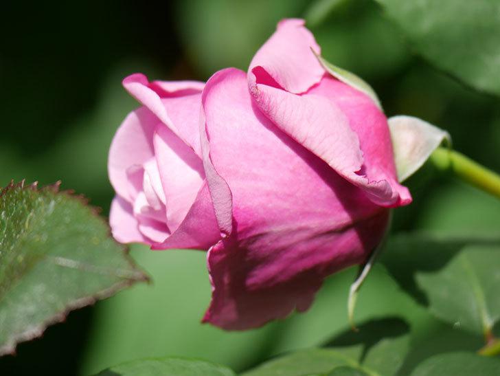 つるシャルルドゴール(Charles de Gaulle Climbing)の花が少し咲いた。ツルバラ。2021年-015.jpg