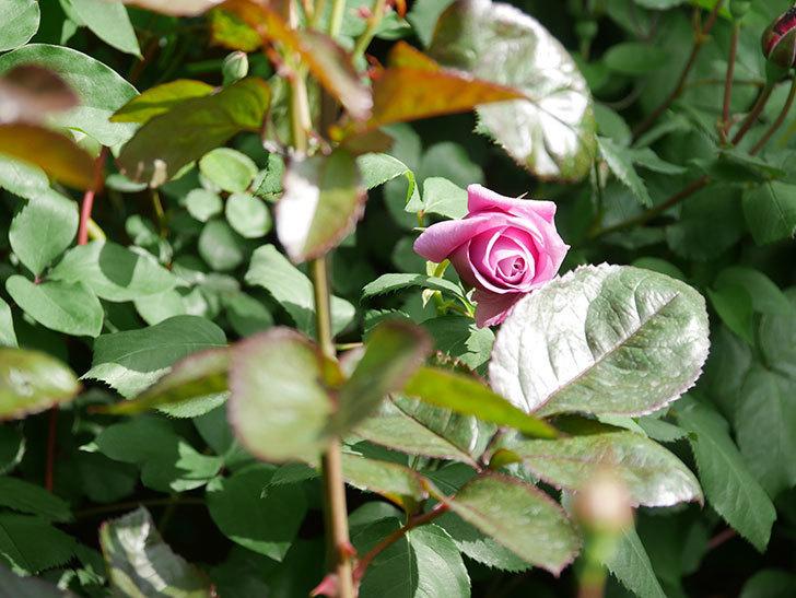つるシャルルドゴール(Charles de Gaulle Climbing)の花が少し咲いた。ツルバラ。2021年-016.jpg