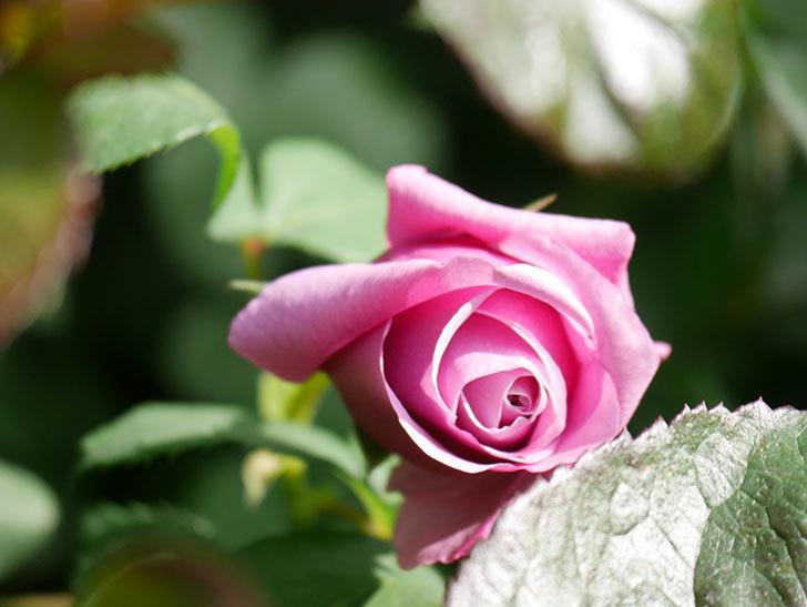 つるシャルルドゴール(Charles de Gaulle Climbing)の花が少し咲いた。ツルバラ。2021年-017.jpg