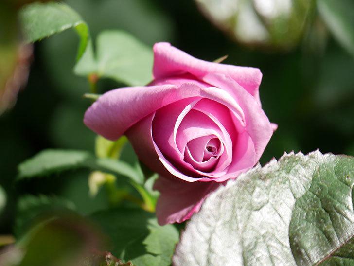 つるシャルルドゴール(Charles de Gaulle Climbing)の花が少し咲いた。ツルバラ。2021年-018.jpg