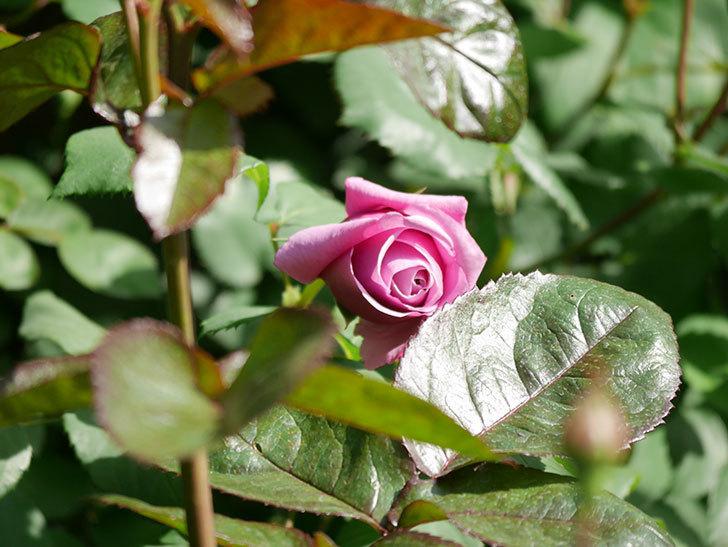 つるシャルルドゴール(Charles de Gaulle Climbing)の花が少し咲いた。ツルバラ。2021年-020.jpg
