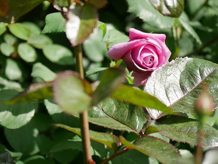 つるシャルルドゴール(Charles de Gaulle Climbing)の花が少し咲いた。ツルバラ。2021年-021.jpg