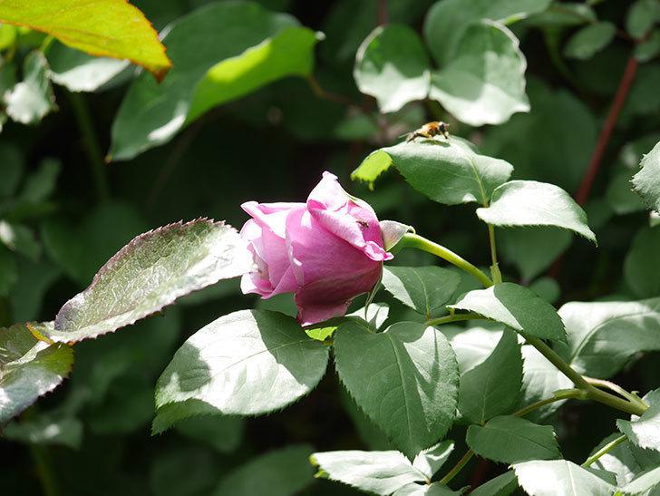 つるシャルルドゴール(Charles de Gaulle Climbing)の花が少し咲いた。ツルバラ。2021年-023.jpg