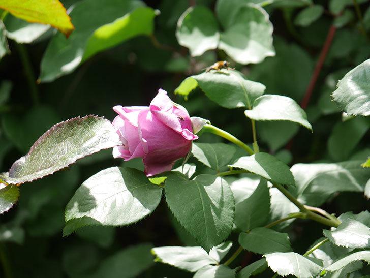 つるシャルルドゴール(Charles de Gaulle Climbing)の花が少し咲いた。ツルバラ。2021年-024.jpg