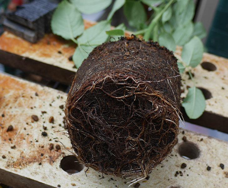 つるシャルルドゴール(ツルバラ)の新苗を6号ロングスリット鉢に植え替えた。2019年-2.jpg