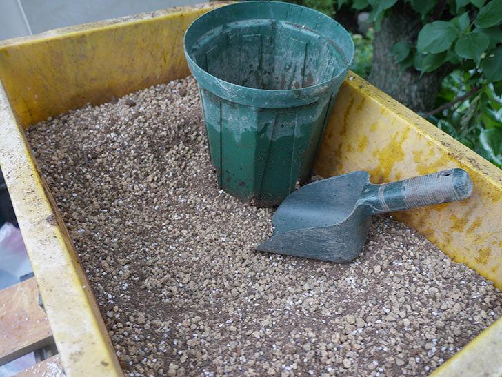 つるシャルルドゴール(ツルバラ)の新苗を6号ロングスリット鉢に植え替えた。2019年-3.jpg