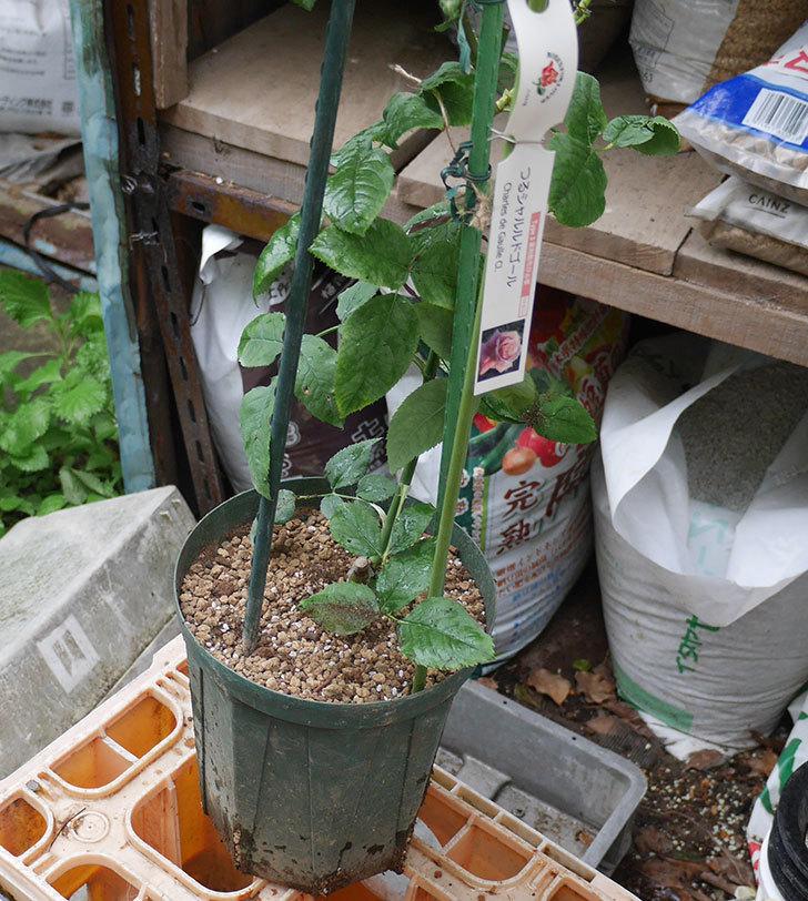 つるシャルルドゴール(ツルバラ)の新苗を6号ロングスリット鉢に植え替えた。2019年-4.jpg