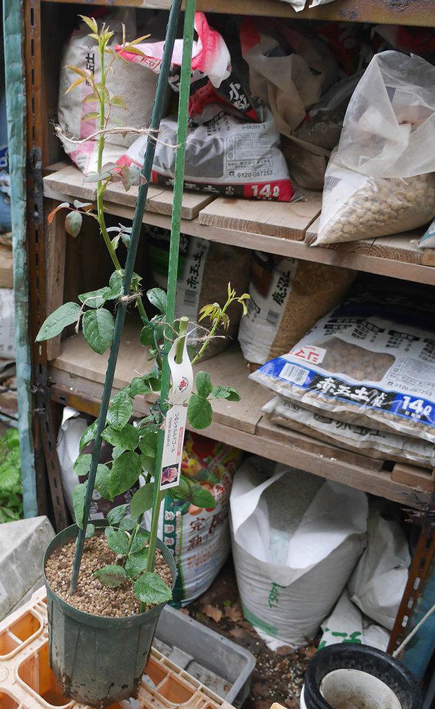つるシャルルドゴール(ツルバラ)の新苗を6号ロングスリット鉢に植え替えた。2019年-6.jpg