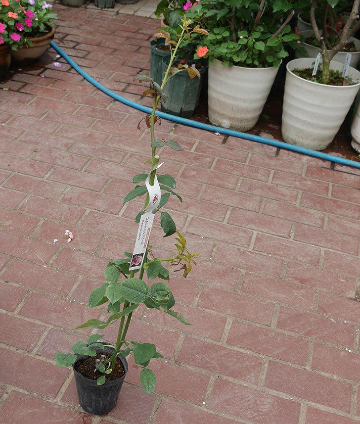 つるシャルルドゴール(ツルバラ)の新苗を楽天のバラの家で買った。2019年-1.jpg