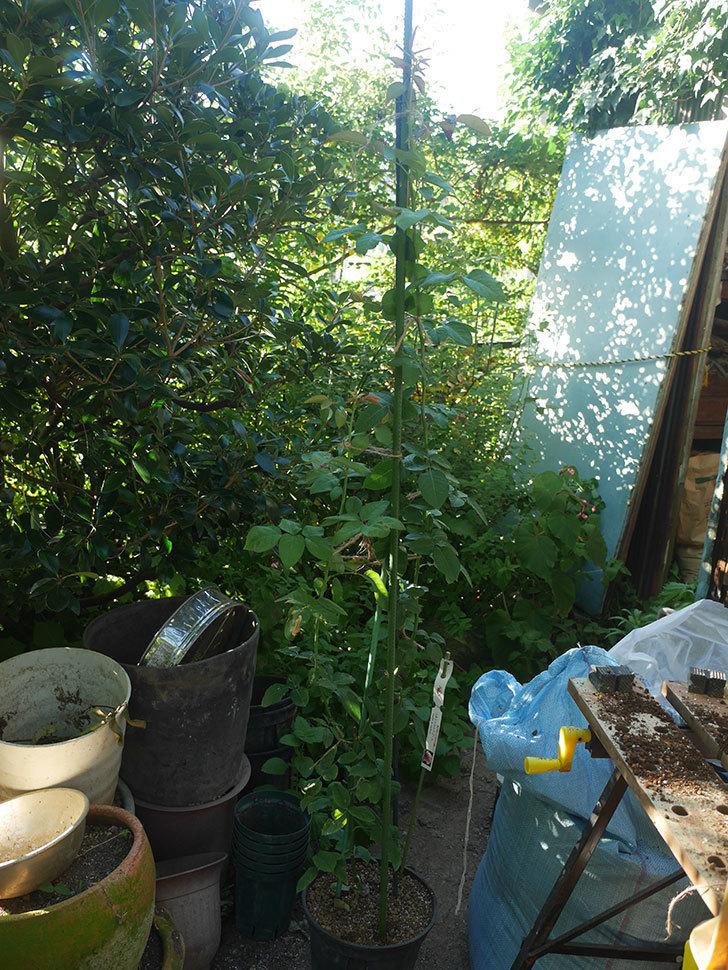 つるシャルルドゴール(ツルバラ)の新苗を鉢増しした。2019年-7.jpg