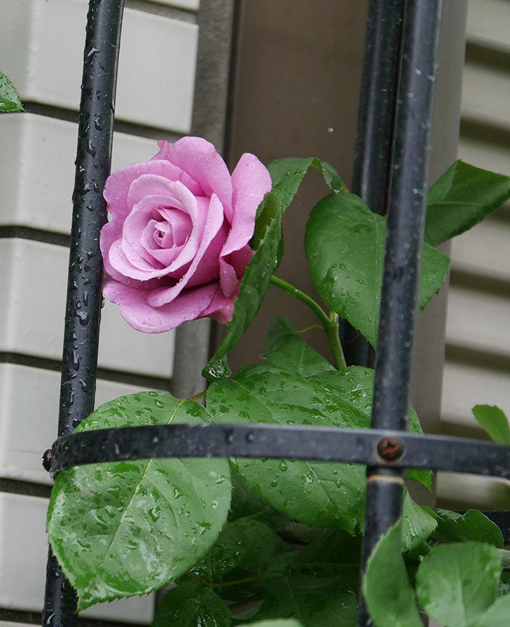 つるシャルルドゴール(ツルバラ)の花が咲いた。2020年-2.jpg