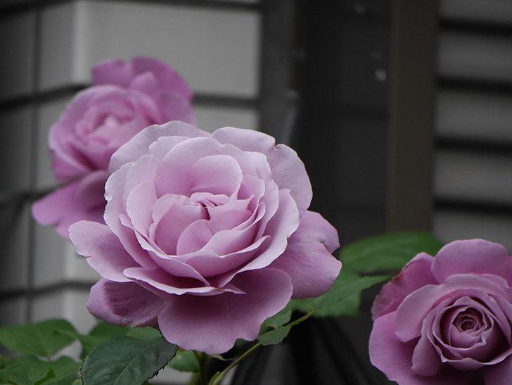 つるシャルルドゴール(ツルバラ)の花が増えてきた。2020年-2.jpg