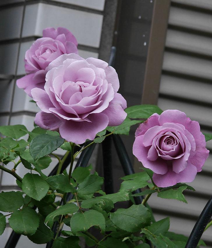 つるシャルルドゴール(ツルバラ)の花が増えてきた。2020年-4.jpg