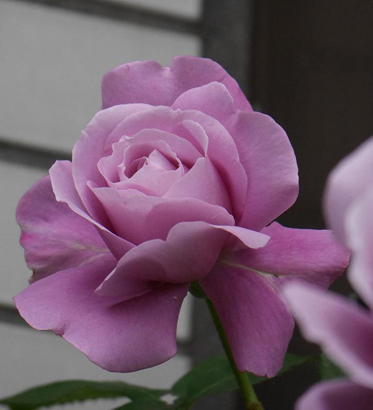 つるシャルルドゴール(ツルバラ)の花が増えてきた。2020年-6.jpg
