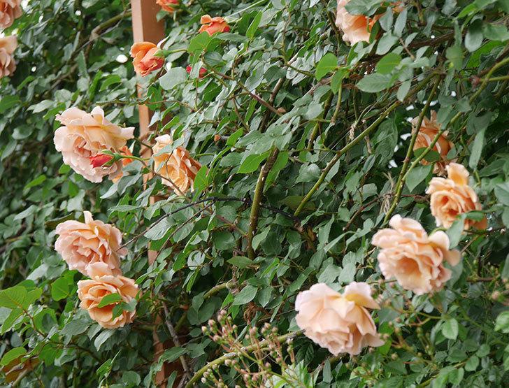 つるジュリア(ツルバラ)がたくさん咲いた。2019年-1.jpg