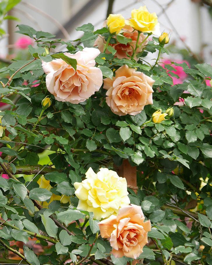 つるジュリア(ツルバラ)がたくさん咲いた。2019年-11.jpg