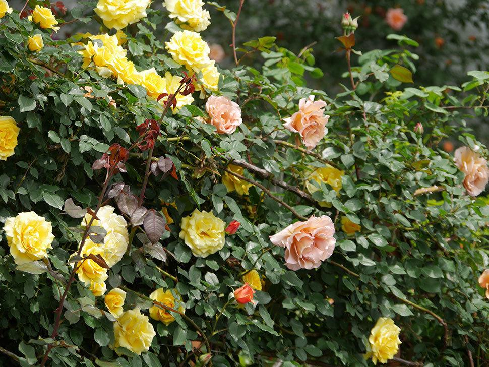 つるジュリア(ツルバラ)がたくさん咲いた。2019年-12.jpg