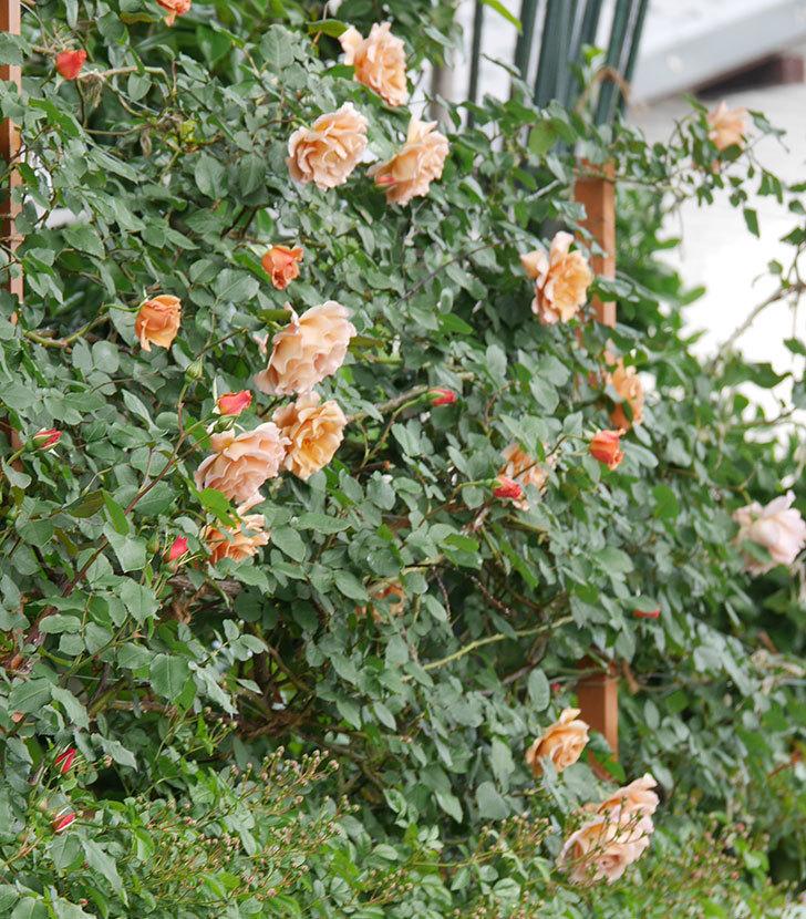 つるジュリア(ツルバラ)がたくさん咲いた。2019年-13.jpg