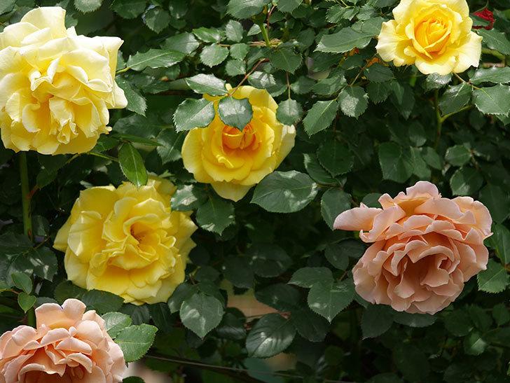 つるジュリア(ツルバラ)がたくさん咲いた。2019年-14.jpg