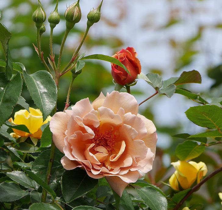 つるジュリア(ツルバラ)がたくさん咲いた。2019年-15.jpg