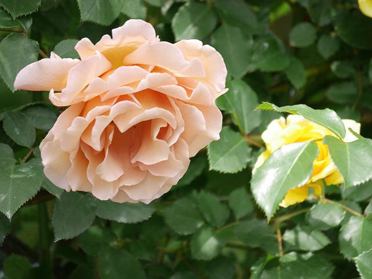 つるジュリア(ツルバラ)がたくさん咲いた。2019年-16.jpg