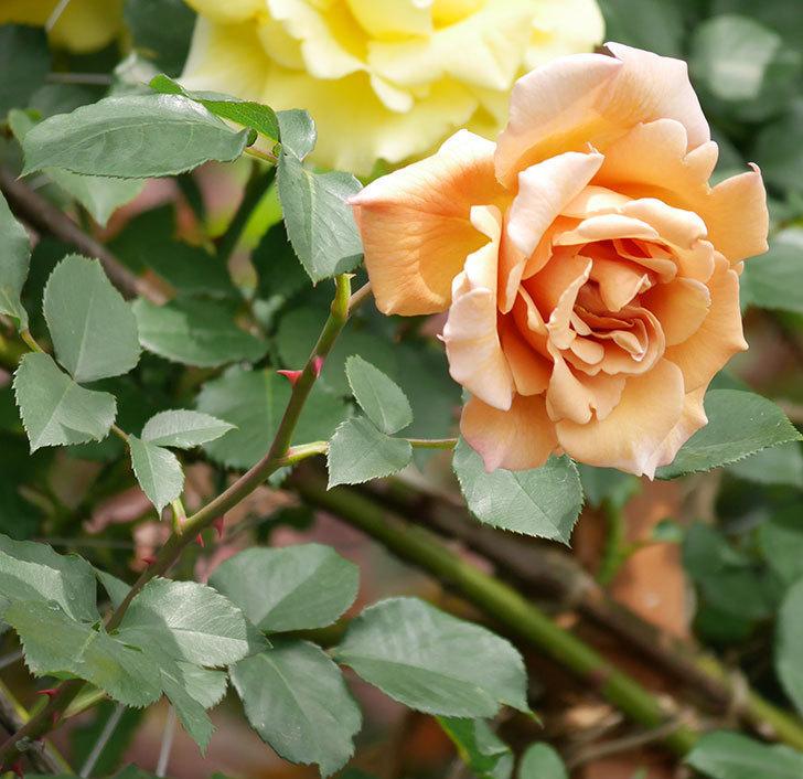つるジュリア(ツルバラ)がたくさん咲いた。2019年-19.jpg