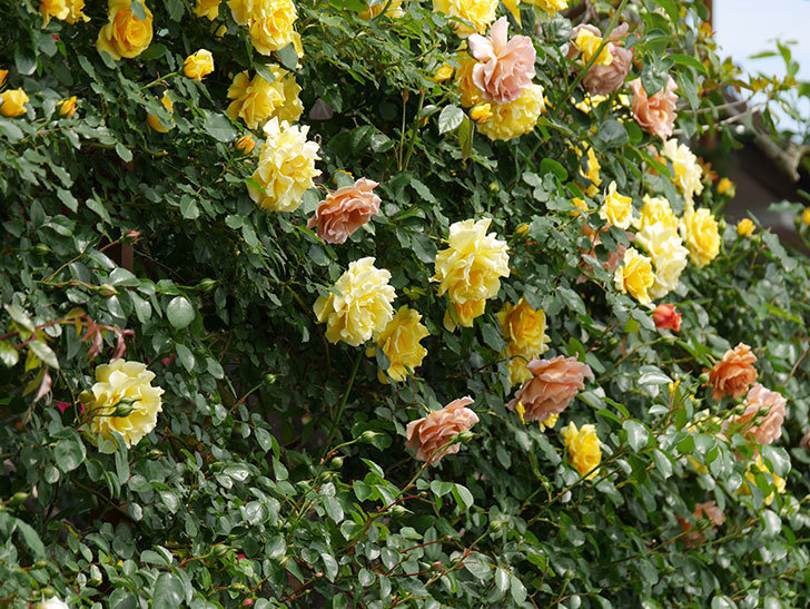 つるジュリア(ツルバラ)がたくさん咲いた。2019年-2.jpg