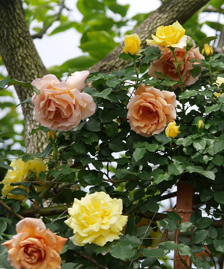つるジュリア(ツルバラ)がたくさん咲いた。2019年-20.jpg