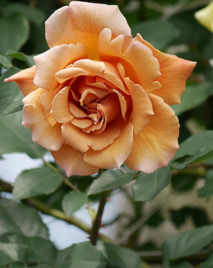 つるジュリア(ツルバラ)がたくさん咲いた。2019年-22.jpg