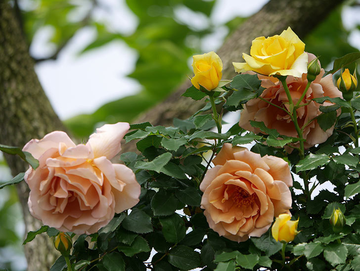 つるジュリア(ツルバラ)がたくさん咲いた。2019年-23.jpg