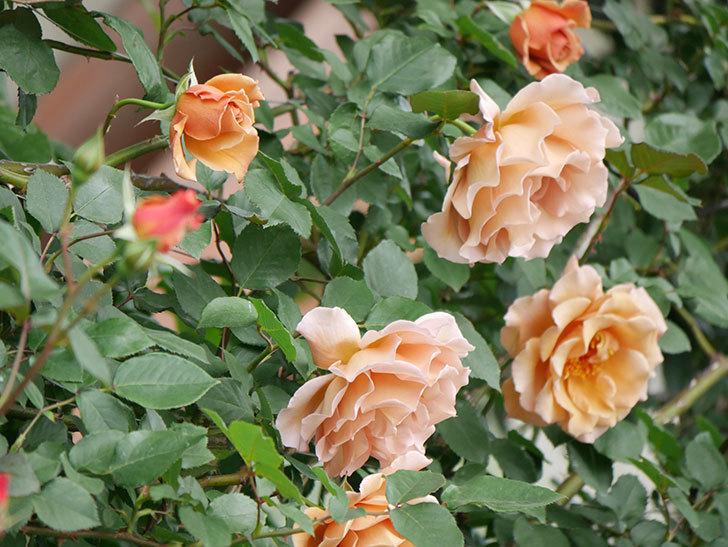 つるジュリア(ツルバラ)がたくさん咲いた。2019年-24.jpg