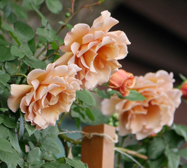 つるジュリア(ツルバラ)がたくさん咲いた。2019年-25.jpg