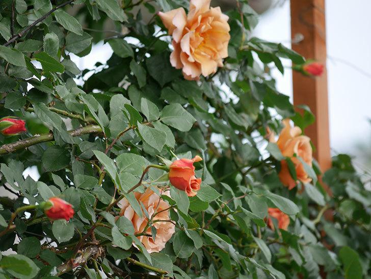 つるジュリア(ツルバラ)がたくさん咲いた。2019年-26.jpg